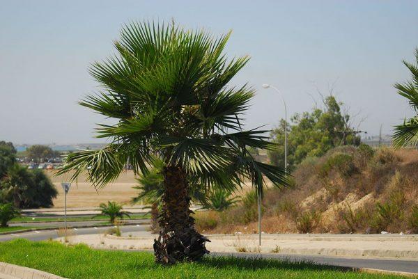 Chypre palmiers