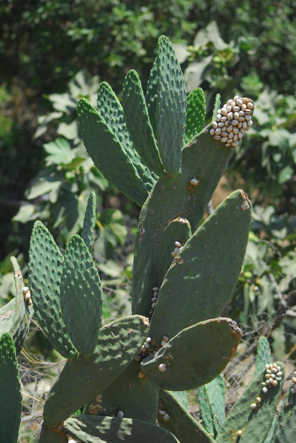 Larnaca cactus