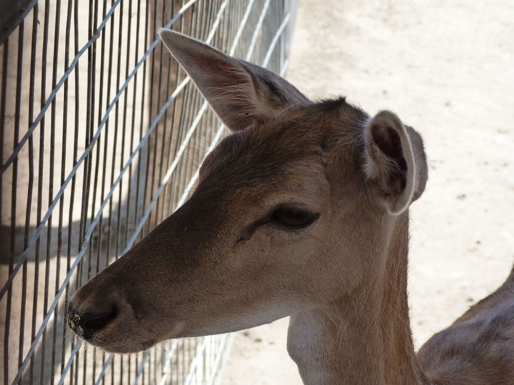 camel park , Mazotos, Chypre, biche