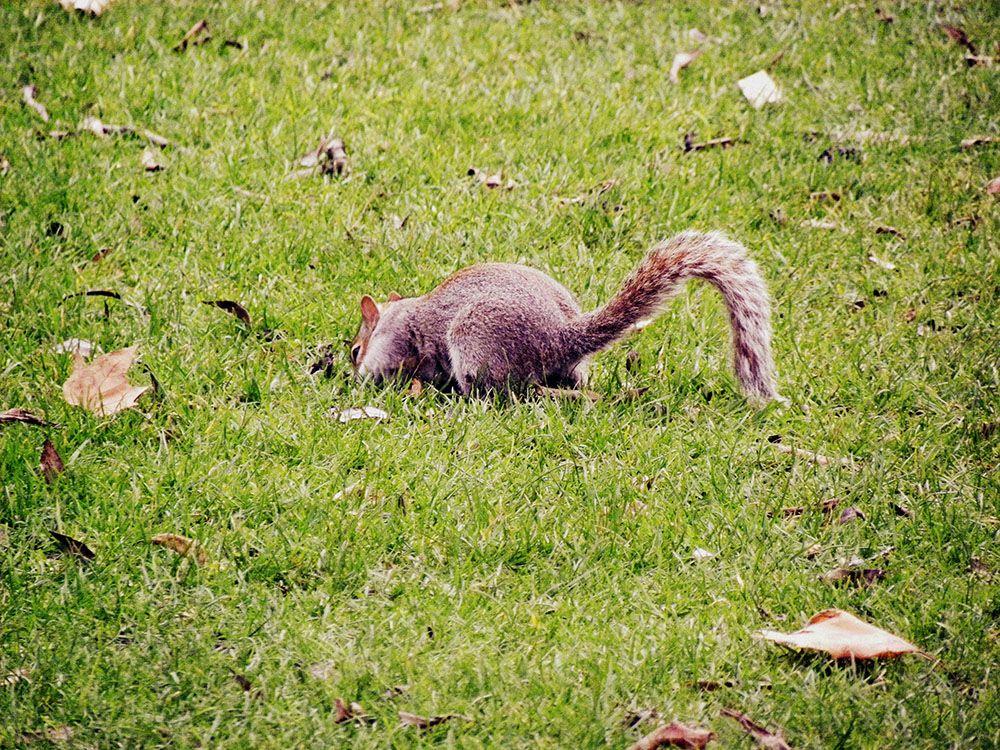 londres écureuils