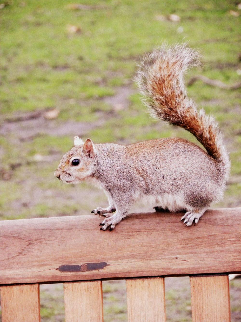 londres st jame's park écureuils