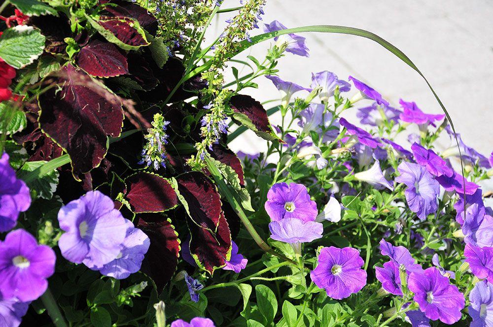 fleurs Vlissingen, Flessingue, Zélande