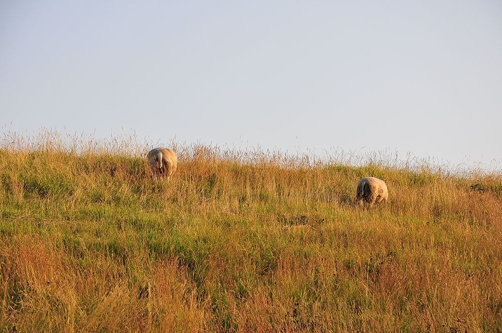 moutons vlissingen,  flessingue, zélande