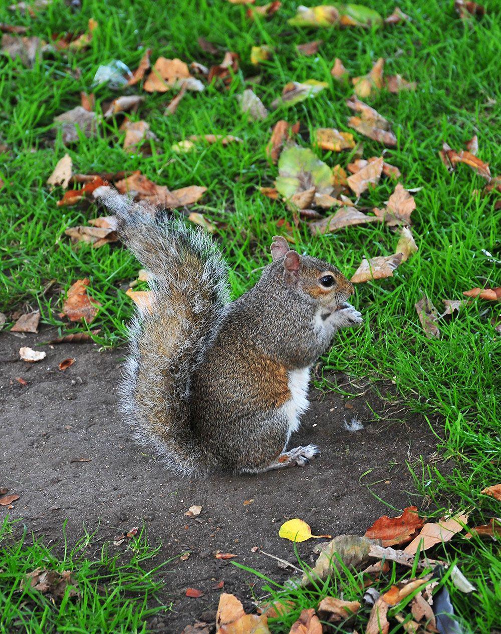 écureuil st jame's park