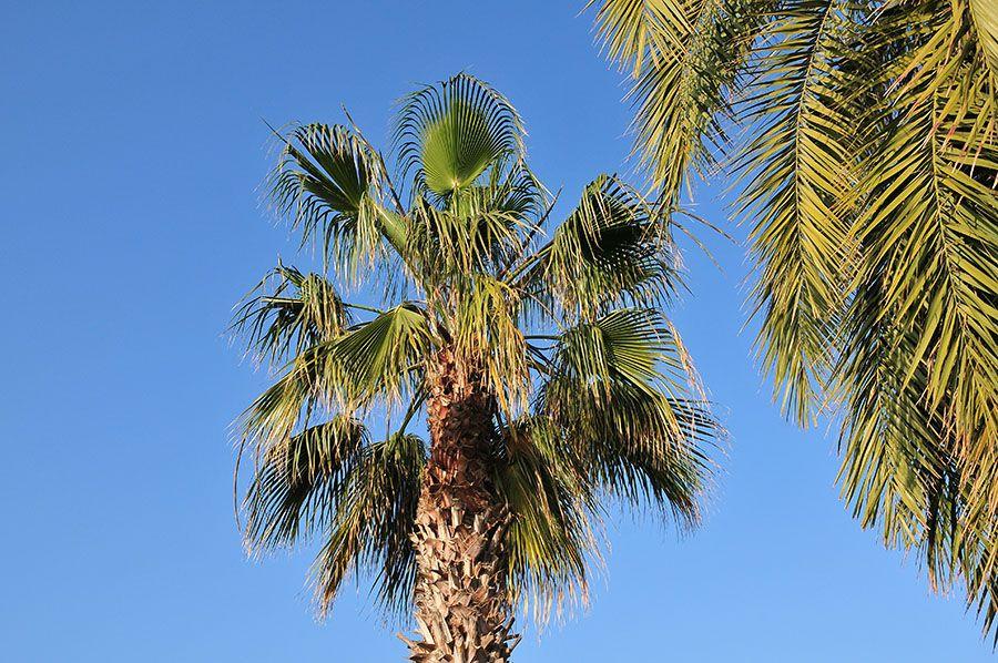palmiers, séville