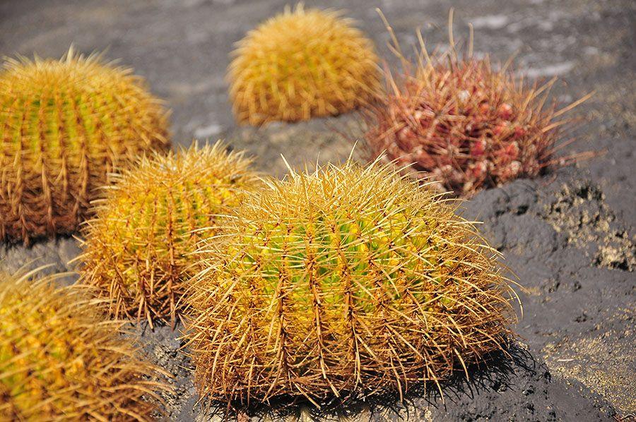 cactus, tenrife, santa cruz