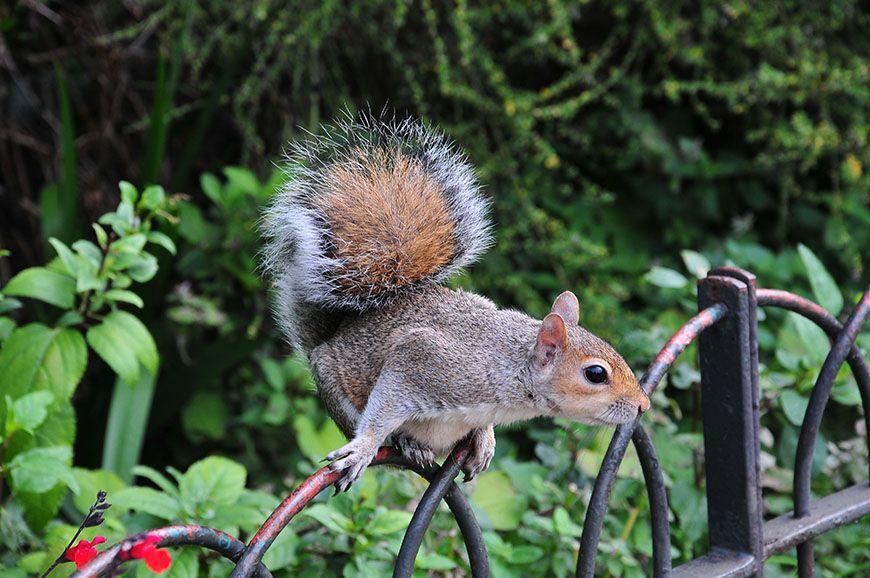 écureuil londres