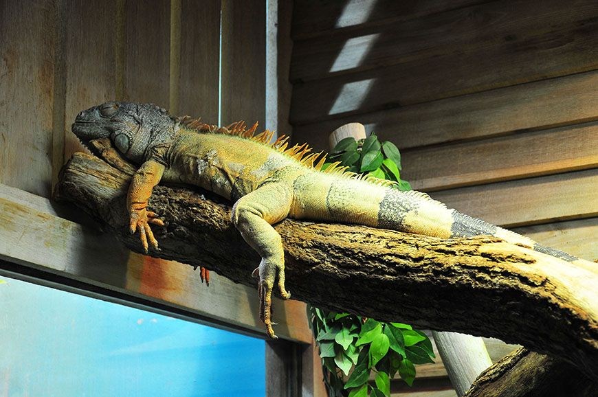nausicaa iguane