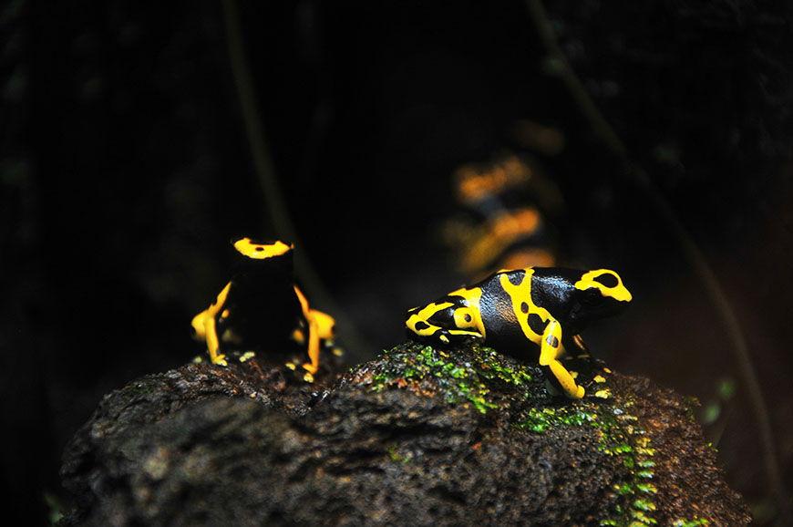 zoo et serre amazonienne de montpellier grenouille
