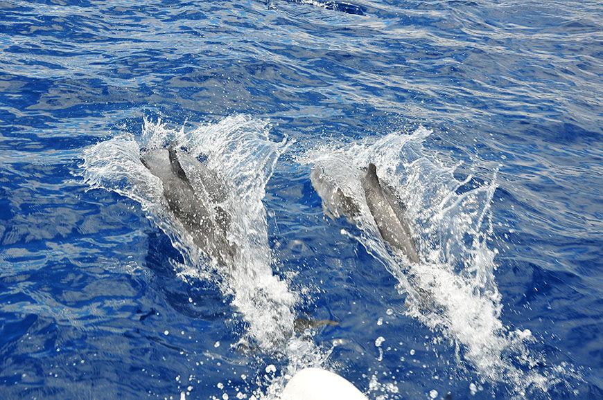 aller voir les baleines et dauphins à funchal