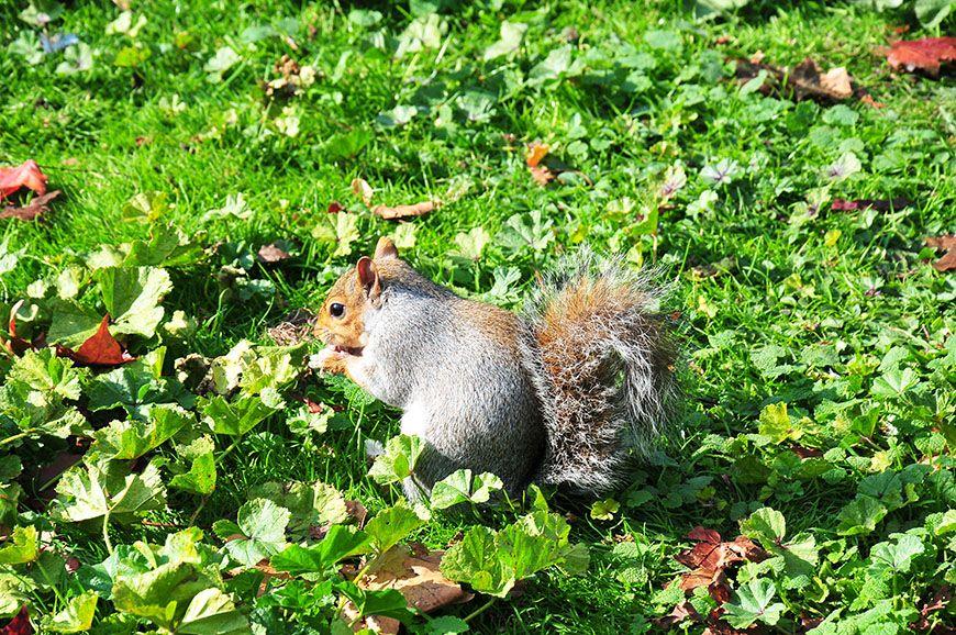 automne à Londres: saint james park et écureuils