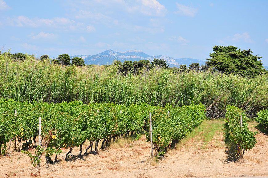 îles embiez vignes