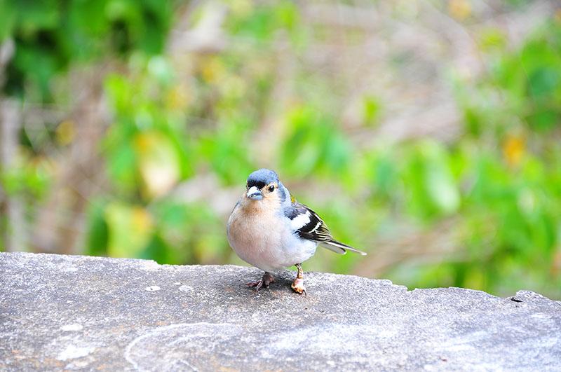 levada à madère: randonnée ribeira da janela près de porto moniz à madère oiseaux
