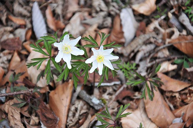 printemps dans le massif du puy de dôme