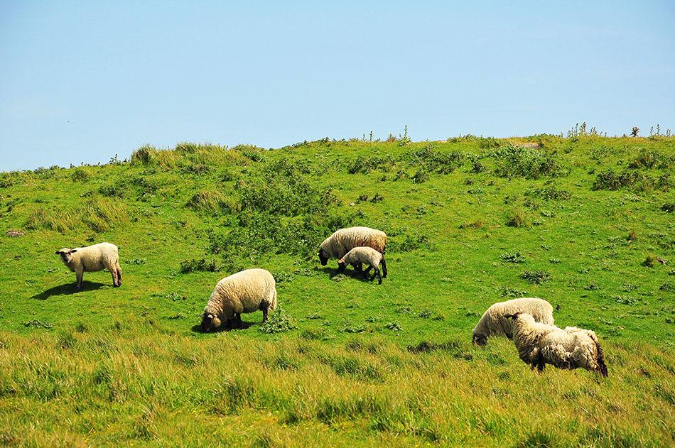 moutons, mers les bains