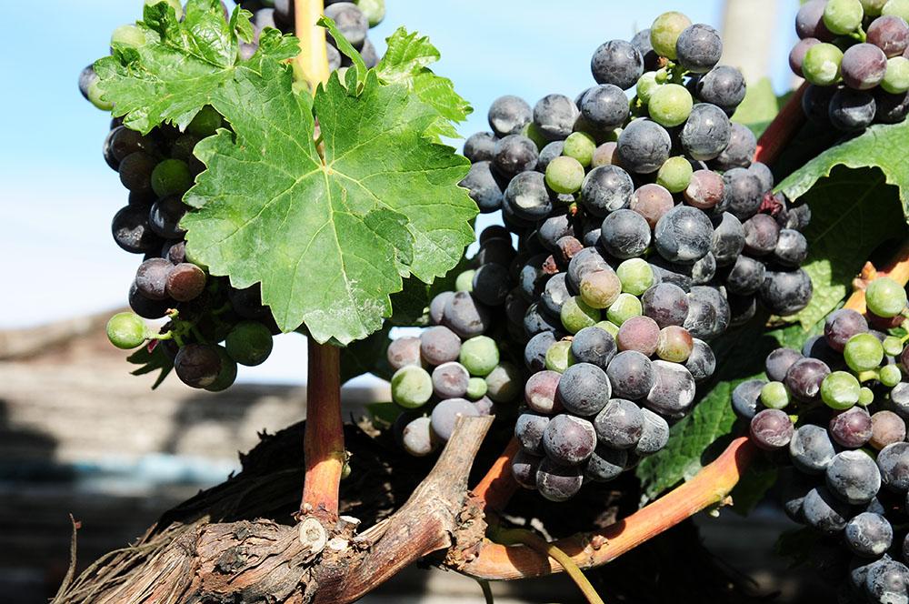 raisin et vignes , istrie , croatie