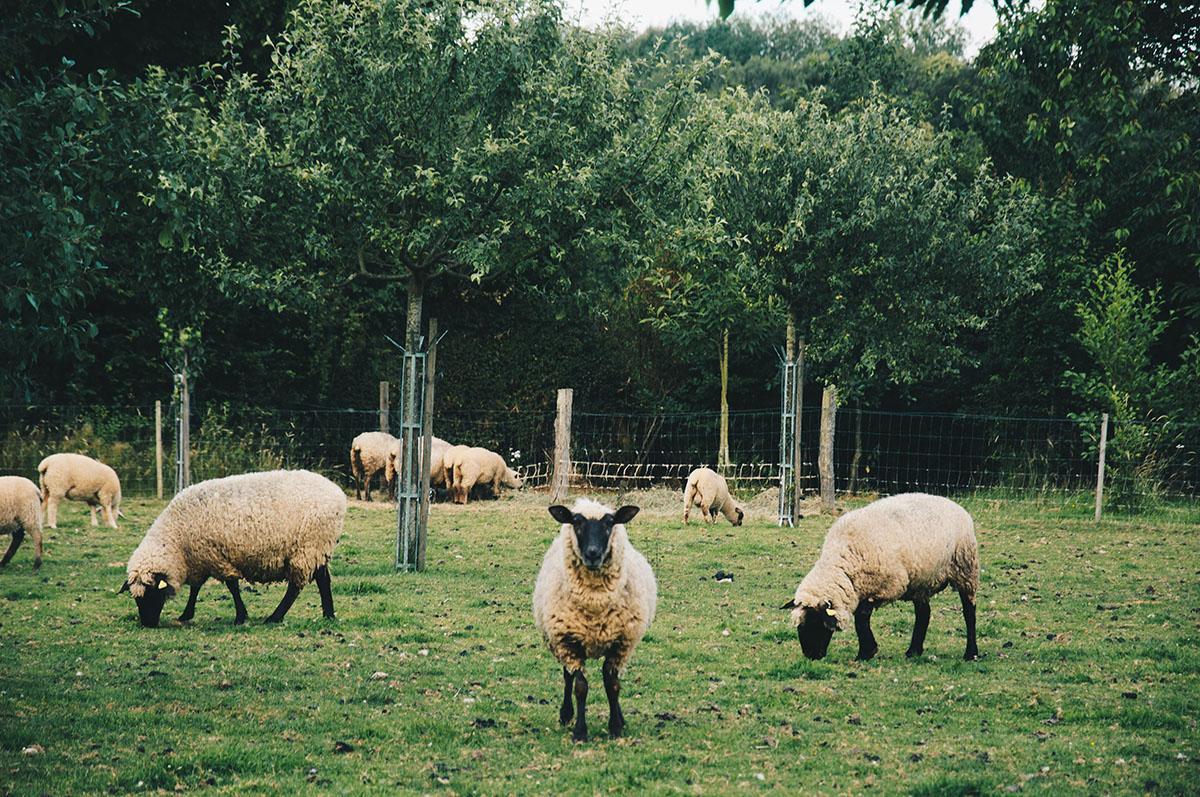 moutons, maison d'hôtes un air de campagne, week-end au calme