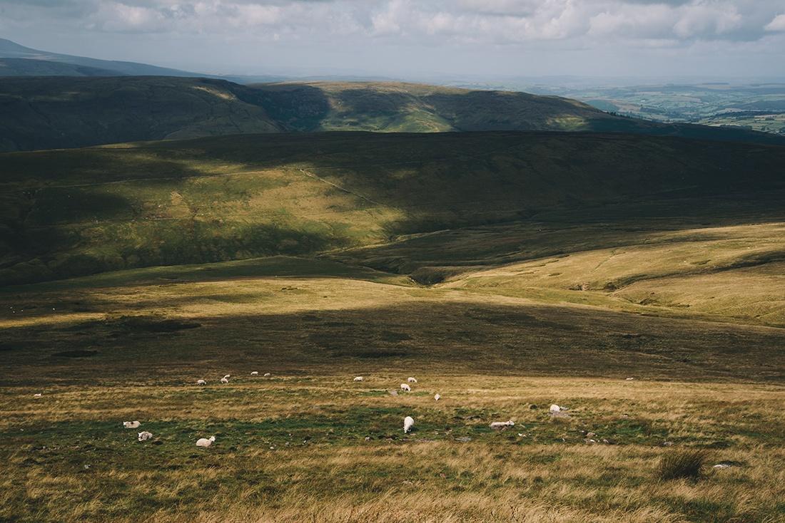 moutons, pays de Galles