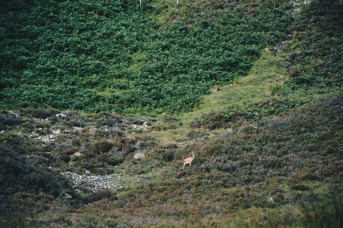 cerfs , torridon, ecosse